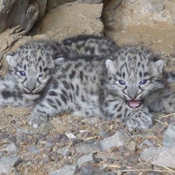 Photo: Snow leopard trust & Snow leopard conservation foundation